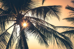Tops of palm trees with sun behind Royalty Free Stock Photography