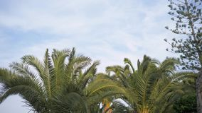 The tops of the palm trees swaying in the wind. The top of the date palm. 4K. stock footage