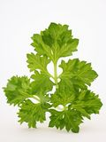 Tops of parsley. Green tops of parsley on white background Royalty Free Stock Image