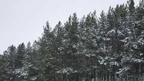 The tops of pine christmas tree nature trees in the winter snow landscape. The tops of pine christmas tree nature trees in winter snow landscape stock video