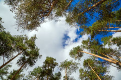 The tops of pine trees against the sky Stock Photos