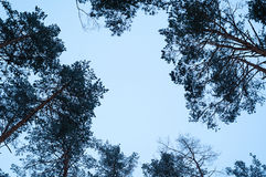 Tops of the pine trees against the sky Stock Image
