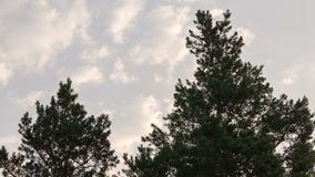 The tops of the pine trees. stock video footage