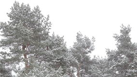 The tops of the pine trees in the forest covered with snow against the gray sky stock footage