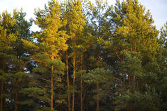 The tops of pine trees at sunset royalty free stock image