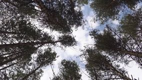 Tops of pine trees sway from the wind against the blue sky.  stock video
