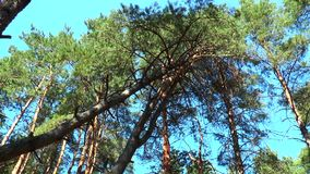 The tops of the pine trees view from below stock video footage