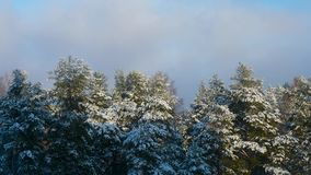 Tops of pine trees in the winter that sway. In the wind stock video footage