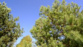 Tops of pines against the blue sky stock footage