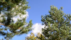 Tops of pines against the blue sky stock video