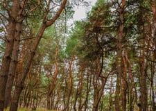Tops of pines Stock Photo