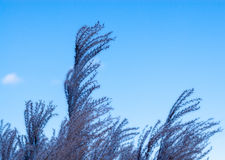 Tops of purple grass heads on sky. Royalty Free Stock Image