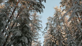 Tops of snow covered trees stock footage
