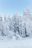 Tops soleados de los árboles en un bosque nevado en el pueblo de Ruka Foto de archivo