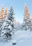Tops soleados de los árboles en un bosque nevado en el pueblo de Ruka Fotografía de archivo libre de regalías