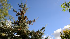 The tops of spruce against  blue sky stock video footage