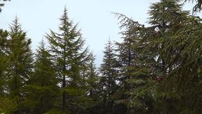 The tops of the spruce trees against the sky.  stock video footage