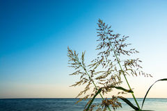 The tops of the tall grass against the sea and sky. The tops of the tall grasses sedges on the background of calm seas and blue skies Royalty Free Stock Photo