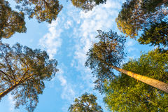 The tops of tall pines against the blue of the sky. The dance of the tops of tall pine trees on background of blue sky with light white clouds Stock Images