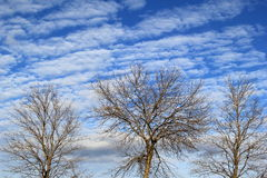 Tops of three bare trees against brilliant blue skies Royalty Free Stock Photography