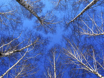 Tops of tree of birch royalty free stock images