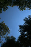 TOPS OF TREE FRAMING BLUE SKY. View up into tall pine and other trees royalty free stock images