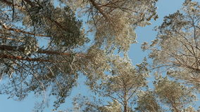 Tops of the trees against the blue sky.  stock footage