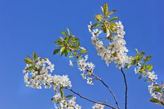 The tops of the trees against the sky. Cherry tree blossoms. Nature royalty free stock image