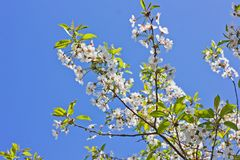 The tops of the trees against the sky. Cherry tree blossoms. Nature stock photos