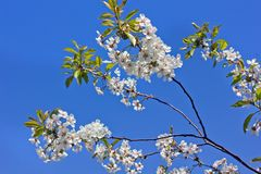The tops of the trees against the sky. Cherry tree blossoms. Nature stock photo