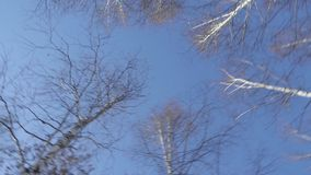 Tops of the trees against the sky in the forest. The tops of the trees against the blue sky in the forest camera rotates stock footage