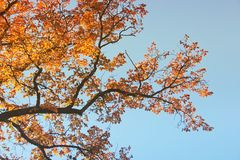The tops of the trees. Autumn royalty free stock image
