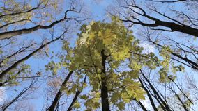 The autumn forest. The tops of the trees in the autumn forest stock video footage