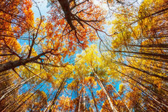 Tops of the trees in the autumn forest Royalty Free Stock Photo