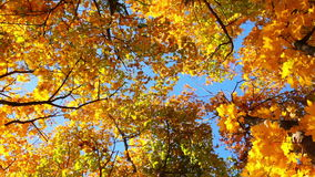 Tops of Trees in the Autumn Forest stock video footage
