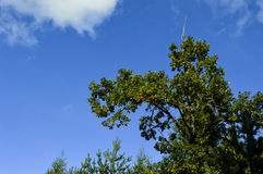 Tops of trees. Royalty Free Stock Photography