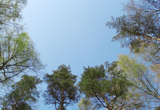 The tops of the trees in the bright blue sky Royalty Free Stock Photography