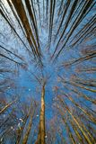 Tops of trees on clear winter sky Royalty Free Stock Photo