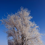 Tops of trees covered with hoarfrost Royalty Free Stock Photography