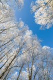 Tops of trees covered with hoarfrost against sky Stock Photo