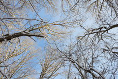 Tops of trees covered with snow Royalty Free Stock Photography