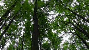 Tops of the trees in the forest camera movement of camera. Panorama with stadicam. Tops of trees In deciduous mixed forest forest. Tall forest stock video footage