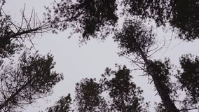 Tops of trees in a forest against a cloudy sky. the crowns of trees sway in the wind. Tops of trees in a forest against a cloudy sky. the crowns of trees sway stock video