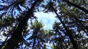 Tops of the trees in the forest camera movement of camera. Panorama with stadicam. stock video