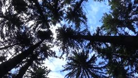 Tops of the trees in the forest camera movement of camera. Panorama with stadicam. stock video footage