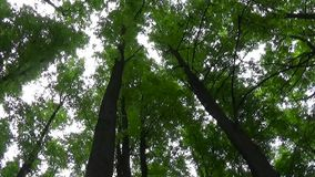 Tops of the trees in the forest camera movement of camera. Panorama with stadicam. stock footage