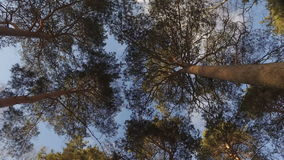Tops of  trees in   forest. Tall pine trees stretch to  sky. Tops of  trees in  forest. Tall pine trees stretch to  sky.  Rime on  branches stock video