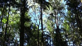 Tops of the trees in the forest on the wind static camera. Tops of trees In deciduous mixed forest forest stock video
