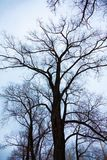 Tree with large and crooked branches. royalty free stock photography