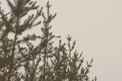 The tops of the trees in the pine forest. Preparation for design royalty free stock photo